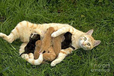 Pet Care Photograph - Cat Nursing Kittens by Jean-Michel Labat