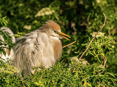 Photograph - Cattle Egret by Jane Luxton