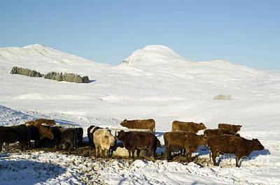 Cattle In The Scottish Highlands Art Print