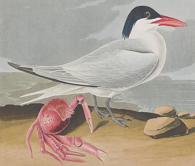 Crabs Drawing - Cayenne Tern by John James Audubon