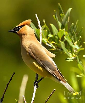 Cedar Waxing Photograph - Cedar Waxwing Closeup by Adam Jewell