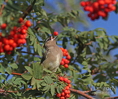 Grey Photograph - Cedar Waxwing by Gary Wing