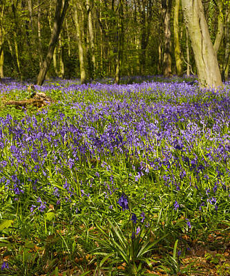 Photograph - Chalet Bluebell Woods by David French