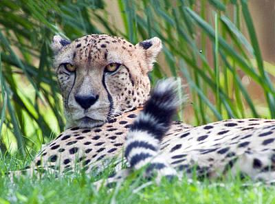 Photograph - Cheetah Portrait by William Bitman