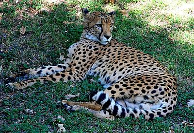 Photograph - Cheetah Relaxes by Kenny Glover