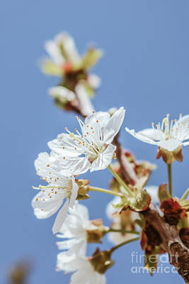 Photograph - Cherry Blossoms by Claudia M Photography