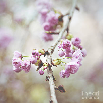 Cherry Blossoms Art Print by Ivy Ho