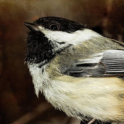 Photograph - Chickadee by Fred Denner