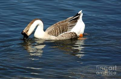 Photograph - Chinese Swan Goose by Sara Raber