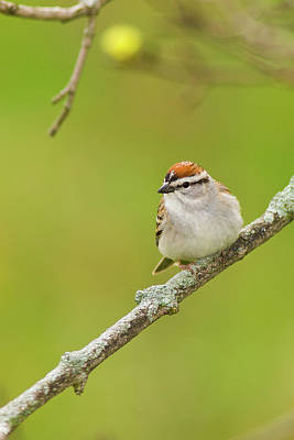 Photograph - Chipping Sparrow by Bernard Lynch