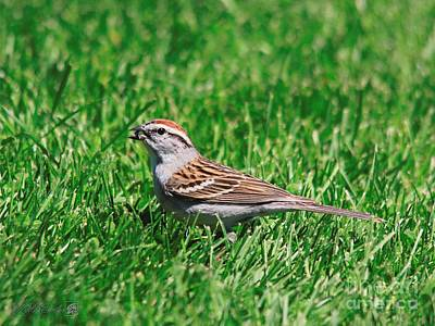 Photograph - Chipping Sparrow by J McCombie
