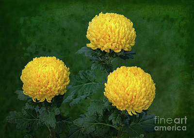 Photograph - Chrysanthemum 'derek Bircumshaw' by Ann Jacobson