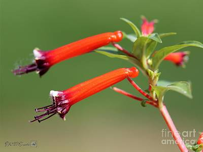 Photograph - Cigar Flower Named Dynamite by J McCombie