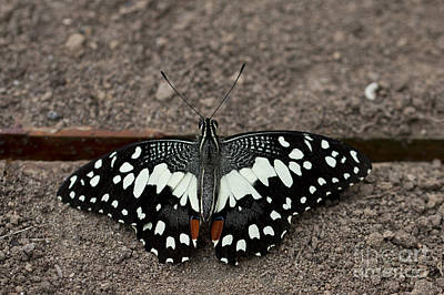 Photograph - Citrus Swallowtail by Pietro Ebner