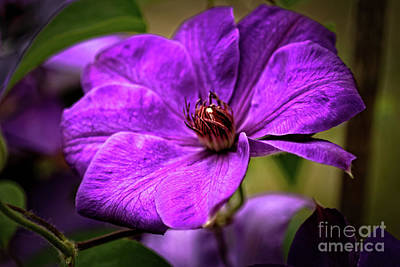 Photograph - Clematis by Robert Bales