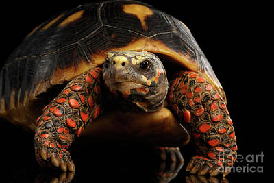 Close-up Of Red-footed Tortoises, Chelonoidis Carbonaria, Isolated Black Background Art Print by Sergey Taran