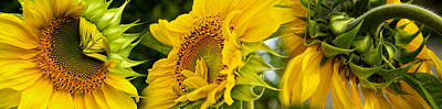 Focus On Foreground Photograph - Close-up Of Sunflowers by Panoramic Images