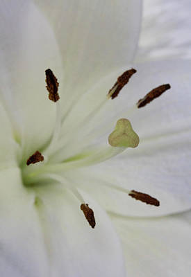 Photograph - Close Up, Soft Focus Of White Lily Flower Pistil And Stamen by Barbara Rogers