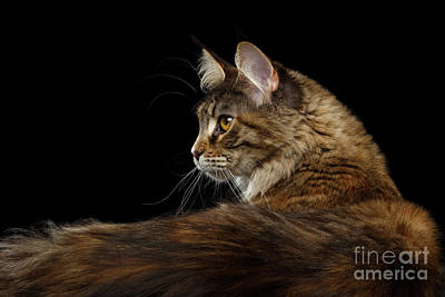 Coon Cat Photograph - Closeup Maine Coon Cat Portrait Isolated On Black Background by Sergey Taran