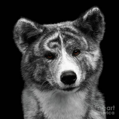 Closeup Portrait Of Akita Inu Dog On Isolated Black Background Art Print