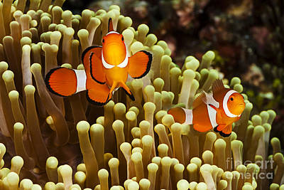 Tendrils Photograph - Clown Anemonefish by Dave Fleetham - Printscapes