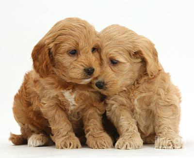 Cockapoo Puppies Art Print by Mark Taylor