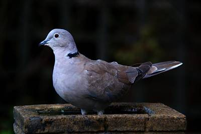 Photograph - Collared Dove by Chris Day