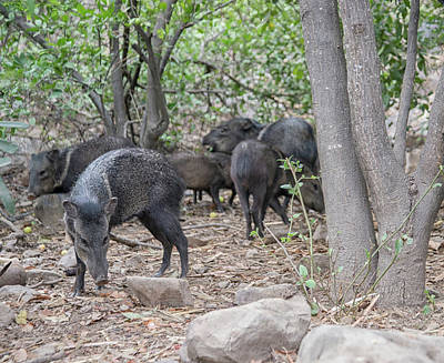 Digital Art - Collared Peccary by Carol Ailles