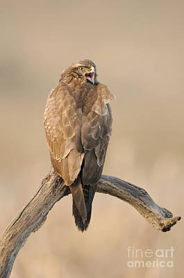 Buzzard Photograph - Common Buzzard by Dr. Rainer Herzog