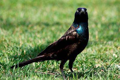 Photograph - Common Grackle - Bronzed Race by J McCombie