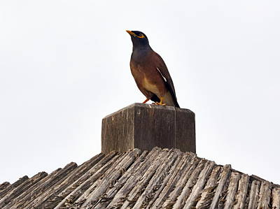 Common Myna Photograph - Common Myna by Jouko Lehto