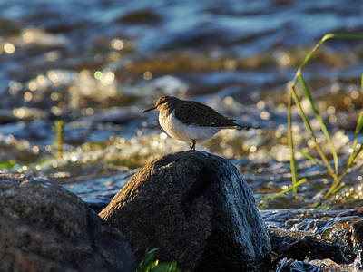 Photograph - Common Sandpiper by Jouko Lehto