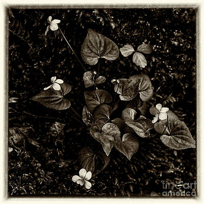 Woodland Violet Photograph - Common Yellow Violet by Thomas R Fletcher