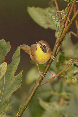 Photograph - Common Yellowthroat by Alan Lenk