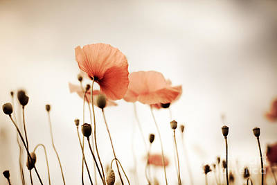 Wall Art - Photograph - Corn Poppy Flowers by Nailia Schwarz