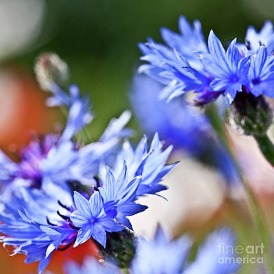 Vermeer Rights Managed Images - Cornflower Royalty-Free Image by Heiko Koehrer-Wagner