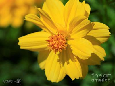 Photograph - Cosmos Named Limara Lemon by J McCombie