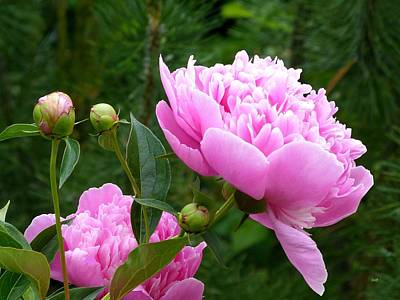Photograph - Country Peonies by Will Borden