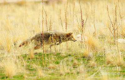 All You Need Is Love - Coyote Hunting by Dennis Hammer