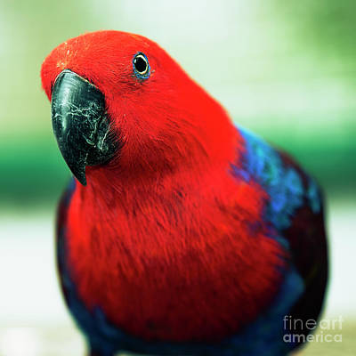 Photograph - Crimson Rosella by Rob D