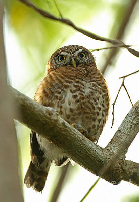 Pygmy Owl Wall Art - Photograph - Cuban Pygmy-owl by Neil Bowman/FLPA