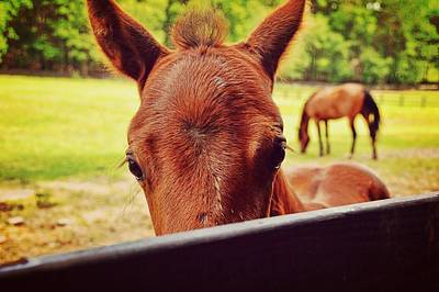 Photograph - Curious Colt by JAMART Photography