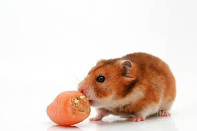 Hamster Baby Photograph - Curious Hamster by Yedidya yos mizrachi