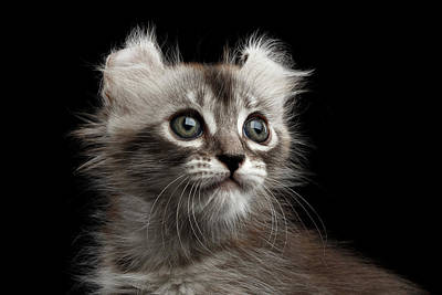 Black Cat Photograph - Cute American Curl Kitten With Twisted Ears Isolated Black Background by Sergey Taran
