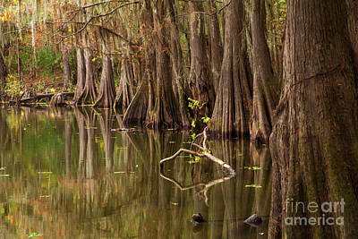 Photograph - Cypress In Autumn by Iris Greenwell