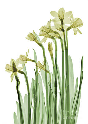 Photograph - Daffodil Flower, X-ray by Ted Kinsman