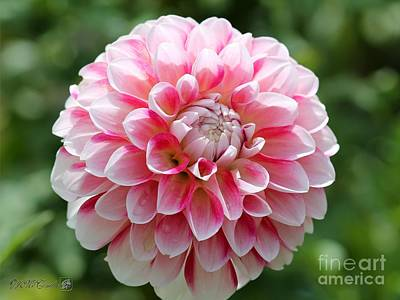 Photograph - Dahlia Named Hawaii by J McCombie