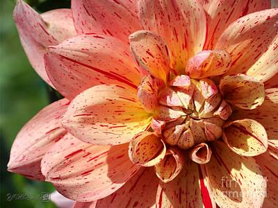 Photograph - Dahlia Named Nonette by J McCombie