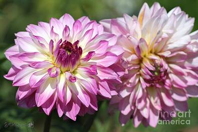 Photograph - Dahlia Named Pink Attraction by J McCombie