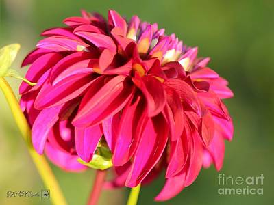 Photograph - Dahlia Named Woodland's Merinda by J McCombie